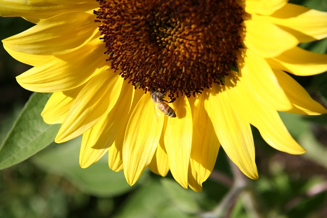 sunflower-1009290_640